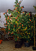 Wintering of potted plants