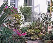 Succulent, Aloe, Agave, Aeonium, various Crassula,