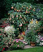 Chrysanthemum, Datura, Fuchsia, Solanum