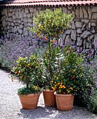 Fortunella japonica and calamondin