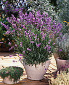 Lavandula angustifolia (lavender)