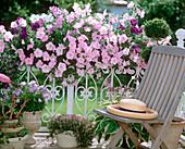Petunia Celebrity 'Niagara Mix' (petunia) in balcony box
