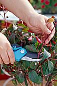 Fuchsia severely cut back in autumn