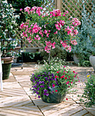 Stem Rose, Erigeron (white daisy)