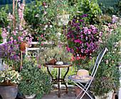 Scented balcony, Solanum, Lathyrus, Pelargonium