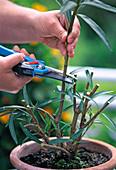 Cutting back Oleander severely to rejuvenate