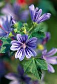 Malva sylvestris 'Primley's Blue' (Blaue Malve)