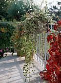 Plectranthuscoleoides (Frankincense, Swedish begonia)