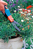 Cutting back a Marguerite after first flower