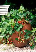 Strawberry 'Elsanta' (garden strawberry) in strawberry pot