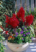 Celosia argentea plumosa (plume)