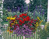 Salvia farinacea 'Viktoria', Begonia (Tuber Begonia) 'Nonstop