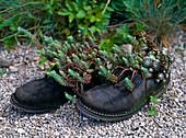 Shoes with Sedum reflexum, Tripmadam