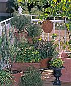 Basil, Origanum, Thymus, Rosemary, Thymus