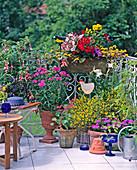 Fuchsia, Dianthus barbatus, Genista lydia, Ageratum