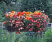 Impatiens walleriana (busy lizzie), Begonia tuberhybrida