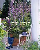 Blue balcony with Campanula pyramidalis, Felicia