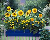 Helianthus annuus 'Teddy Bear', Pot Sunflowers