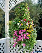Hanging Basket, Petunia-Surfina 'Pink Vein'
