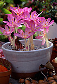 Colchicum giganteum (autumn timeless)