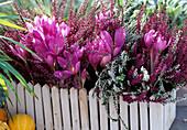 Colchicum 'Lilac Wonder', Calluna vulgaris broom heath