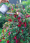 Fuchsias may be overbrewed