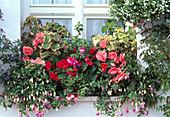 Begonia 'Nonstop Pink', Nonstop Light Pink'