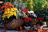 Wicker basket with chrysanthemum (autumn chrysanthemum)