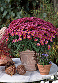 Dendranthema indicum (autumn chrysanthemum)