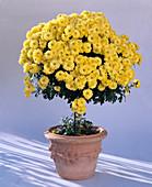 Dendranthema indicum, (autumn chrysanthemum)