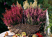 Erica gracilis, three different colors planted in basket