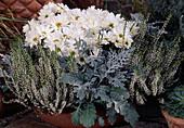 Calluna vulgaris, Chrysanthemum indicum, Senecio bicolor