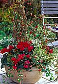 Schale mit Cyclamen persicum (Alpenveilchen), Rosa (Hagebutten)