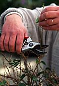 Cut back bougainvillea in autumn