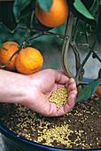 Citrus with iron-containing permanent fertilizer
