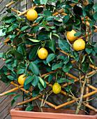 Citrus 'Lipo' (Citrus limon x paradisiaca)
