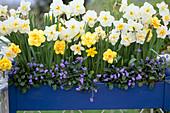 Narcissus 'Tahiti' (yellow blooming)