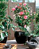 Camellia hybrid 'Mrs. Tingley'