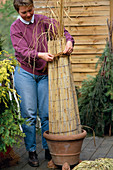 Grasses for overwintering with straw mat