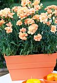 Dianthus caryophyllus (carnation)