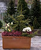 Picea orientalis 'aurea', Erica herbacea