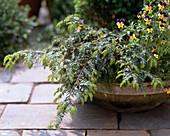 Taxus baccata 'Repandens' (yew)
