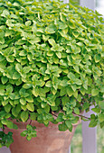 Origanum (marjoram) with yellow leaves