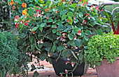 Phaseolus vulgaris var. Nanus 'Hestia'