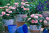 Rose Kordana 'Ballet', mini roses Rosa