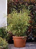 Sinarundinaria nitida (garden bamboo), Arundinaria