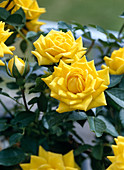 Mini Rose 'Sun Child'