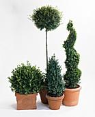 Buxus ligustrum delavayanum