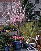 Prunus triloba, Hyacinthus orientalis, Sinarundinaria