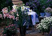 Lilium hybrids, Verbena, Nemesia fruticans